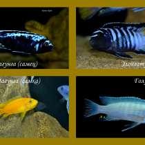 Яркие аквариумные рыбки - Малавийские цихлиды, в Москве