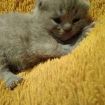 Шотландская вислоухая кошка, в г.Брест