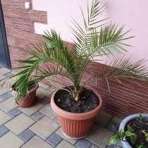Очень красивые большие пальмы, в Краснодаре