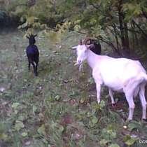 Козочки от высокоудойных коз, в Шадринске