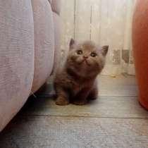 Британские котята, в Ижевске