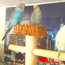Волнистые попугаи-От Заводчика, в Москве