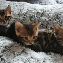 Котята Бенгалы, в г.Emstek