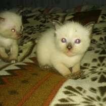 Сиамские котята девочки, в г.Йыхви