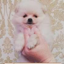 Ваш щенок поменского шпица, в Туле