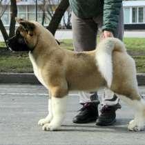 Продам щенков Американской акиты, в Кемерове