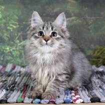 Сибирские котята, в Новосибирске