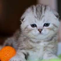 Пятнистый вислоухий котик, вискас, в Санкт-Петербурге