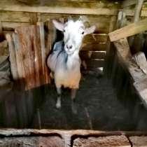 Коза, в Славянске-на-Кубани
