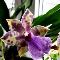 Орхидея зигопеталум (zygopetalum), в Калининграде
