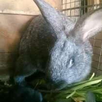 Крольчата-серебро, ризены, в Набережных Челнах