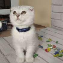 Продам котенка, породы скотишь фолд с родословной, в г.Кутаиси