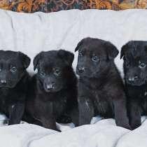 Продам щенков черной овчарки, в г.Тирасполь