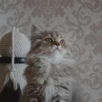 Шотландский котенок, в г.Минск