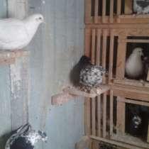 Продам голубей, в Иркутске
