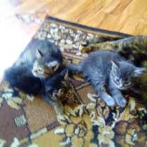 Котята черепашковой кошки, в Перми