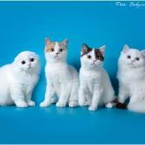 Шотландские котята, в Ростове-на-Дону