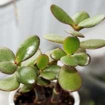 Продам комнатное растение денежное дерево- крассула, в г.Уральск