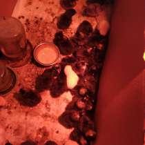 Цыплята доминант несушка, в Симферополе