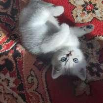 Британские короткошерстные котята, в Хабаровске