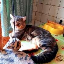 Шотландский кот вязка, в г.Гомель
