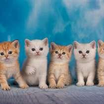 Золотые и серебряные британские котята, в Санкт-Петербурге
