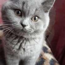 Продам котят породы Британская короткошерстная, в г.Киев