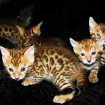 Бенгальские котята Питомник бенгальских кошек sunnybunny, в г.Кобрин