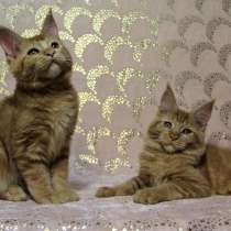 Котята мейн-куны разных окрасов, в Новосибирске