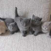 Шотландские котята скоттиш фолд, в г.Барановичи