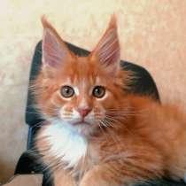 Котенок породы мейн-кун, в Красноярске