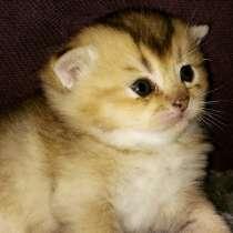 Котята золото, голубое золото, в Пятигорске