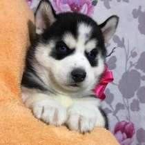 Красивые черно-белые щенки хаски, в Чебоксарах