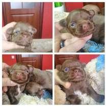 Продам высокопородных щенков чихуахуа (male) КСУ, в г.Херсон
