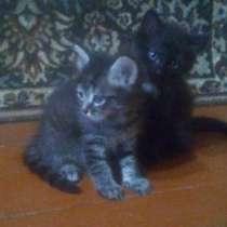 Двух месячные котята, мальчики, в Магнитогорске