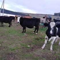 Продав коров 8 штук, в Севастополе