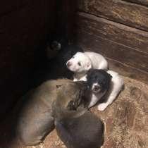 Продам щенят. Алабай, в Комсомольске-на-Амуре
