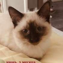 Продам тайского котёнка (девочка) 3 месяца, в г.Минск