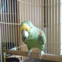 Продаются попугаи, в Череповце