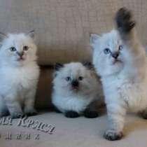 Невские маскарадные котята, в Комсомольске-на-Амуре