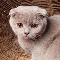 Шотландские котята, в Старом Осколе