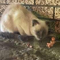 Вислоухая кошка, в Махачкале