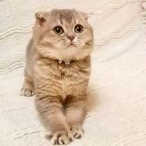 Scottish fold boy, в г.Ванкувер