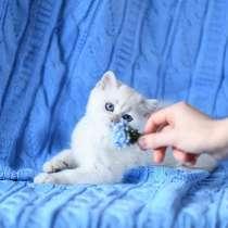 British Shorthair Femele ns 1133.Sapphire eyes, в г.Чикаго