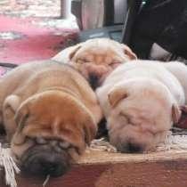 Продам щенков шарпея, в Томске