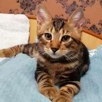 Продам котят курильского бобтейла, в Новом Уренгое