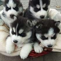 Продаются щенки сибирской хаски. С документами, в г.Бишкек