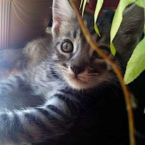 Котята Севастополь: Чудные Тигрята в Добрые Руки, в Севастополе