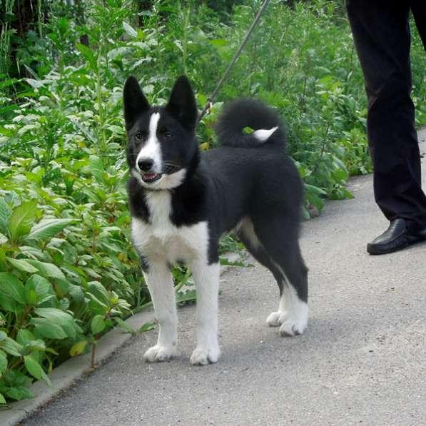 Карельская медвежья собака, сука 4 мес в Санкт-Петербурге фото 3