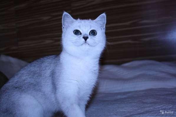 Котята серебристой шиншиллы в Москве фото 4